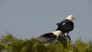 Birding Adventures Swallow Tailed Kites